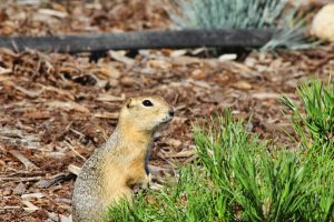 Shy Ground Squirrel by Joe-Lynn-Design