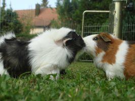 Kiss (quinea pigs) by Calitha-Lena