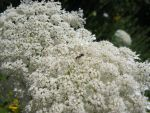 Queen Anne's Lace and Ant 1 by Windthin