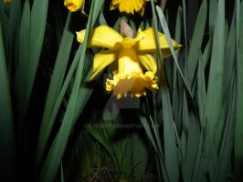 daffodil 1 by cassisit
