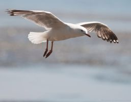 Seagull 13 by 88-Lawstock