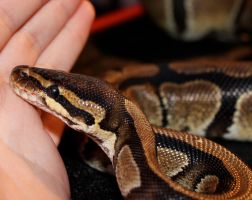 New Ball Python face by Dachindae