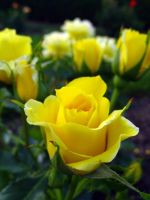 Yellow Roses by curliekt