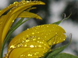 Rainy Day Sunflower 5 by Jyl22075