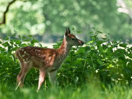 Red Deer Fawn 00 - May 12 by mszafran