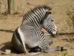 Zebra by Asherose
