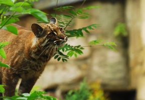 Asian Golden Cat by Shadow-and-Flame-86