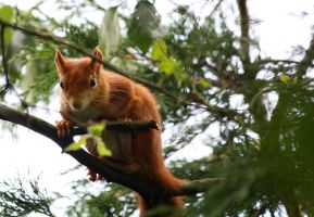 Red Squirrel by monkmonk12