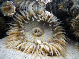 'nother anemone by leftcoastcreative