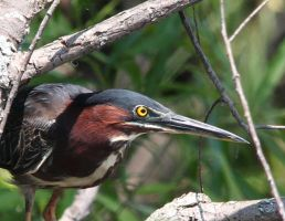Green Heron 2 by twombold