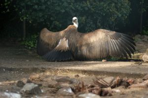 Griffon Vulture by AllAboutBirds