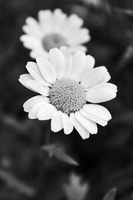 The essence of a daisy by onlyalive8