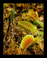 Flytraps by Blue-Eyed-Tricksters