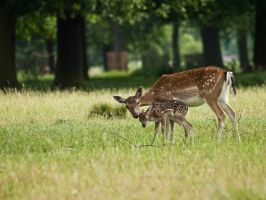 Fallow Deer 00 - June 10 by mszafran