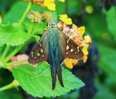 Long-tailed Skipper.,..., by duggiehoo