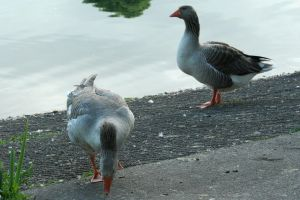 Geese37 by MaelstromStock