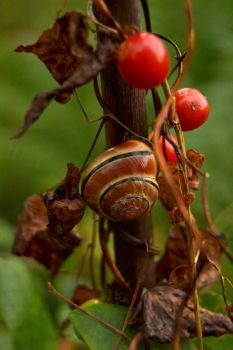 Caracol asturiano by CandiiiLuv