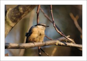 Today's nuthatch by Rajmund67
