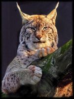 lynx eyed modified by asomy