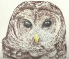 Barred Owl Portrait by Aki-rain