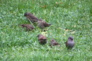 Dunnock family by YunaHeileen
