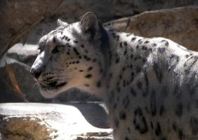 Captive Snow Leopard by Ciameth
