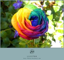 Multicolored Rainbow Rose by LilyStox