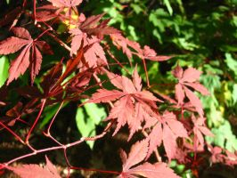 Japanese Maple 2 by crazygardener