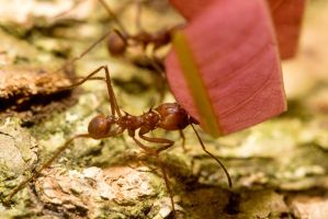 Leaf Cutter Ant by GeorgeAmies