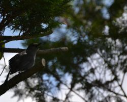 Gray Catbird by Noble-Kenshi