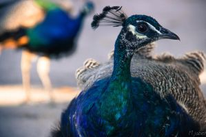 peacock  4 by houssam6464