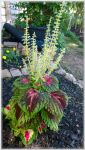 Young Coleus Plant by slowdog294