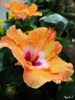 Tri-Colored Hibiscus by AdmiralAngela