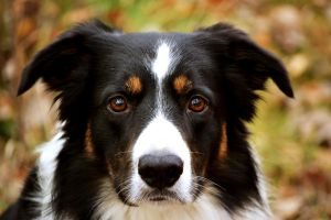 Border collie photo by Honeycorn