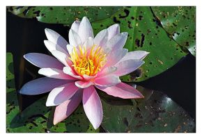 Flowers: Water Lily by cody29