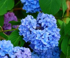 Blue Hortensia by danaa7
