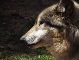 Gray Wolf Stock 3 by HOTNStock