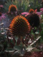 Aechinacea by webworm