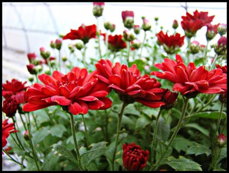 red flowers by AgY111