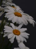 English Daisies 03 by botanystock