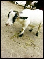 Tulsa Zoo Baby Goat 2 by laurensconcepts