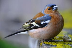 Chaffinch by Ellie-S