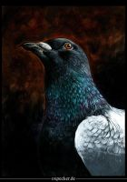 Portrait of a pigeon by oxpecker