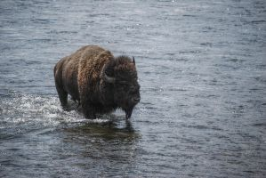 Bison, Yellowstone by Eliansito