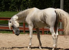 Andalusian Stallion - 68 by ElaineSeleneStock