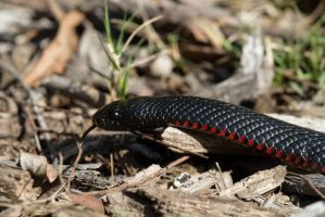 Red-bellied black snake by DPaZZa