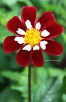 A Maroon Dahlia by theresahelmer