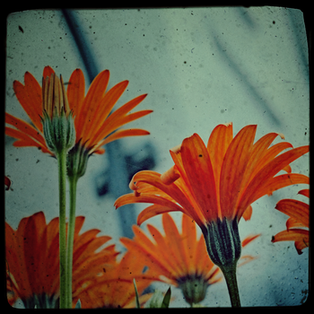 Orange Flowers by Lydia-distracted