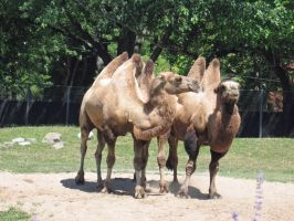 My Humps, My Humps, My Lovely Lady Humps! by Psybur