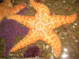 Starfish Stock 3 by SerendipityStock